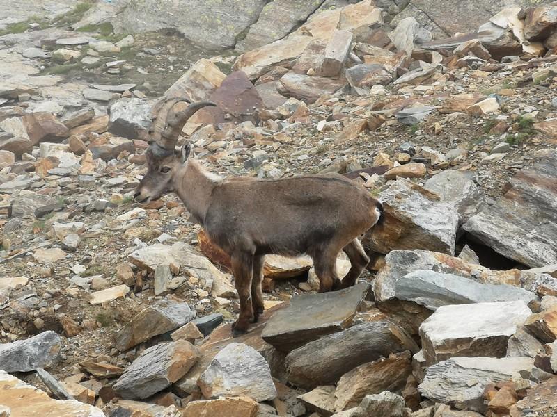 guide alpine proup punta gnifetti alpinismo alta montagna (44)
